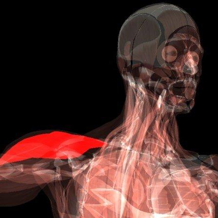 OpenGL Module Muskeln